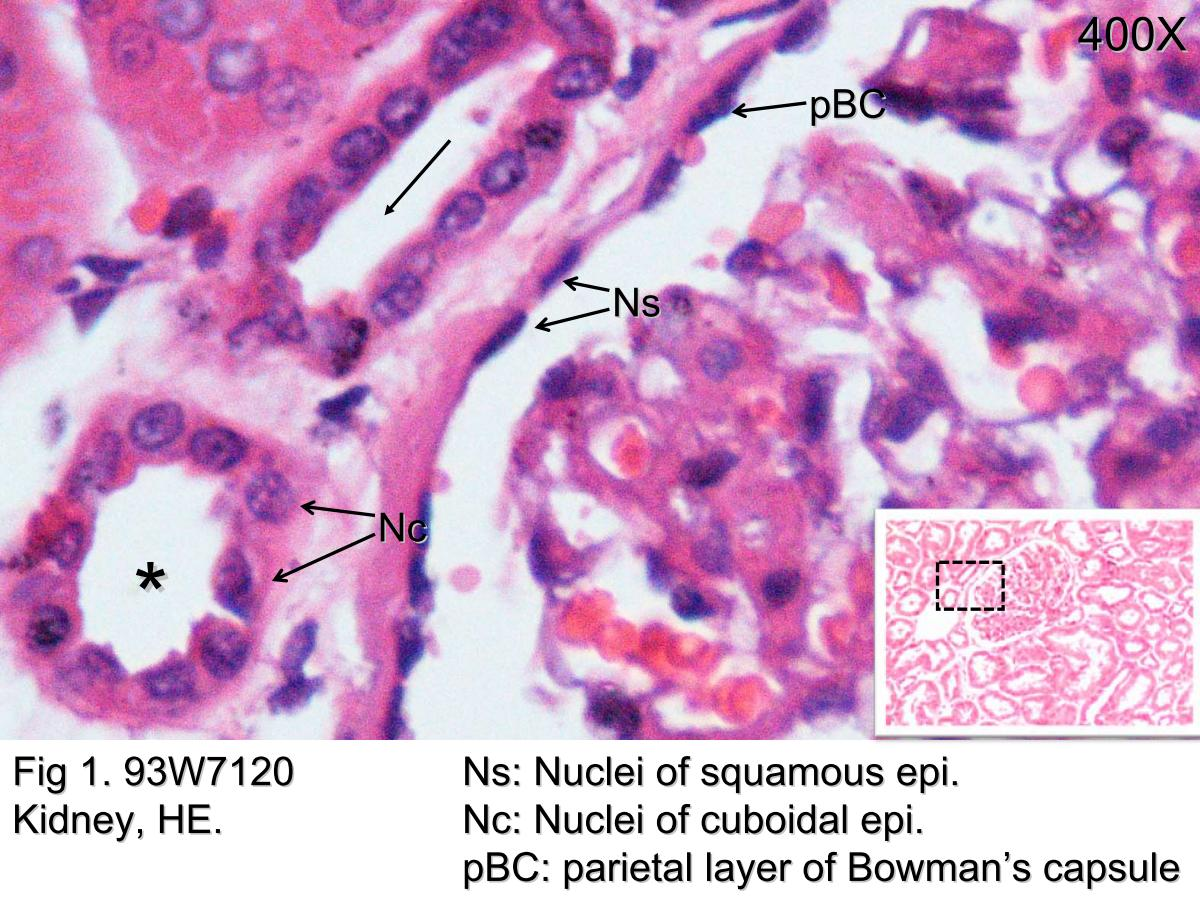Block1fig 1 Epithelia In The Renal Cortex