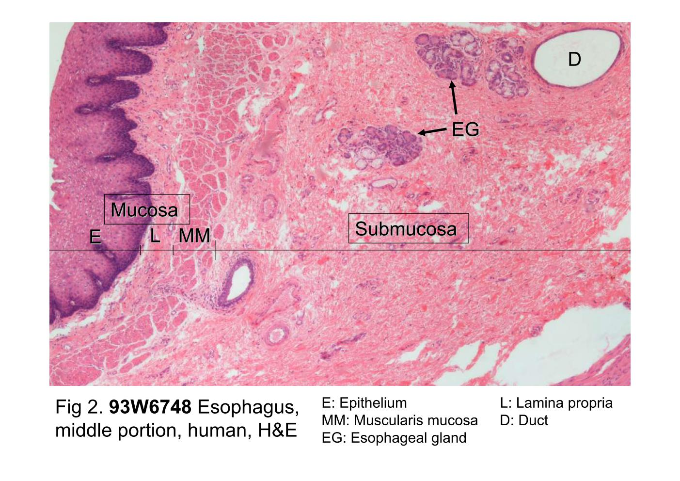 Block10-1/Fig 2. 93W6748 The microscopic structure of the esophagus.