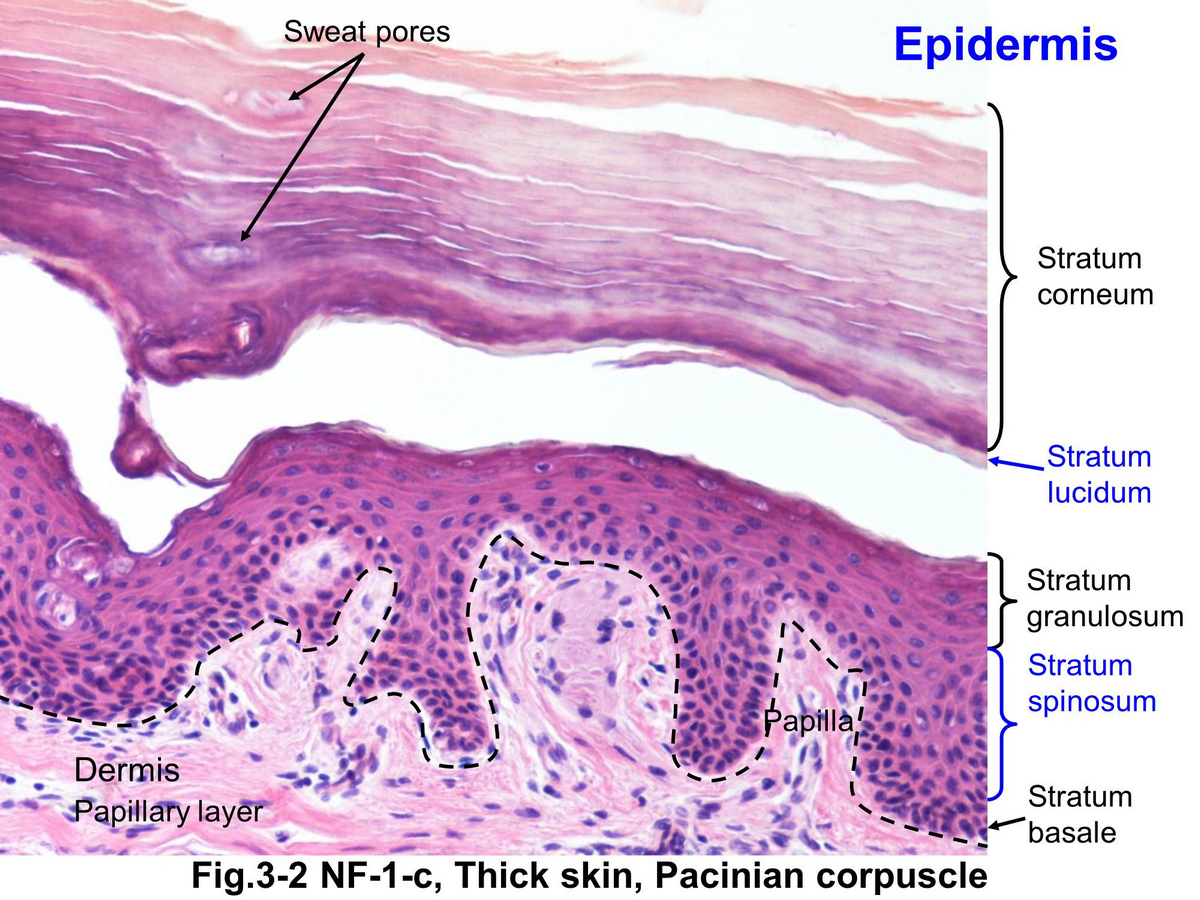 Block12/Fig. 3-2 Epidermis of thick skin.